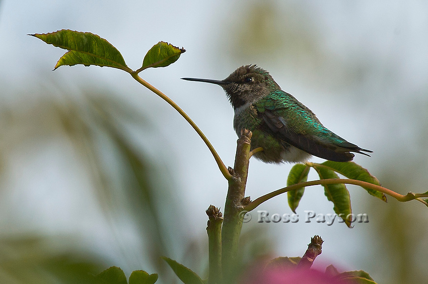 Anna's Hummingbird perches for a portrait.