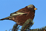 Gray-crowned Rosy-Finch perched in a conifer in Homer, Alaska.