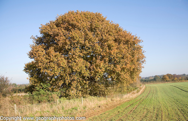 Round shaped Quercus robur deciduous oak tree with autumn leaf colour, Sutton, Suffolk, England