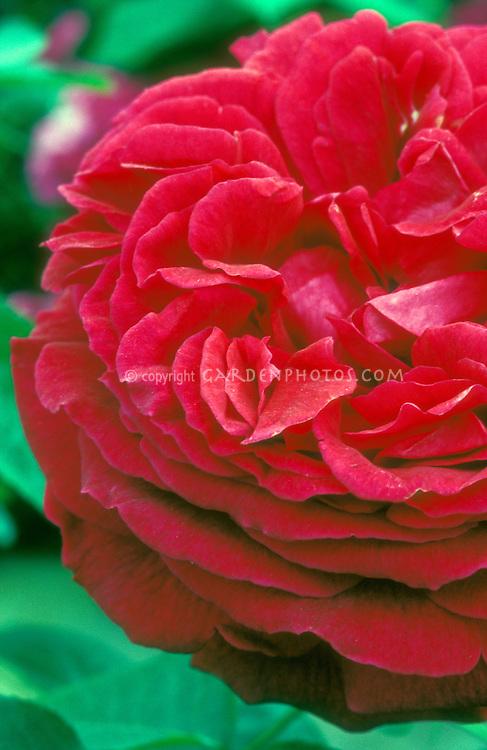 Rosa 'Falstaff' aka 'Ausverse' English climbing rose red, macro closeup of flower petals