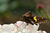 A Sliver Spotted Skipper looks right at you from his perch on a white and pink flower. The sun shinning through his left fore-wing makes the band on on his forewing glow.