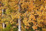A quaking aspen grove nearing the peak of fall color in Grand Teton National Park, Wyoming.