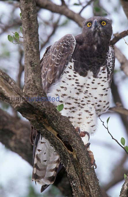 Martial Eagle ,Polemaetus bellicosus,, Samburu Game Reserve, Kenya, Africa.