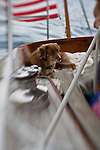 Australian Shepherd dog on sailboat, sailing, St. John U.S.V.I.