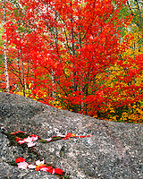 Maple and Birch trees in fall color along the Boquet River in the Dix Mountain Wilderness; Adirondack Park & Preserve, NY