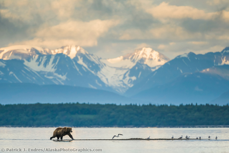 Brown bear walks along the shore of Naknek lake, Katmai National Park, Alaska.