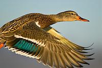 MALLARD DUCK (Anas Platyrhynchos) hen.
