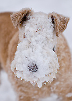 Lakeland Terrier dog in snow