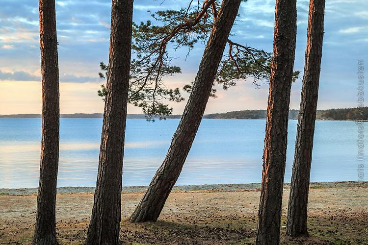 Tallar vid havsstranden  på Torö i Stockholms skärgård
