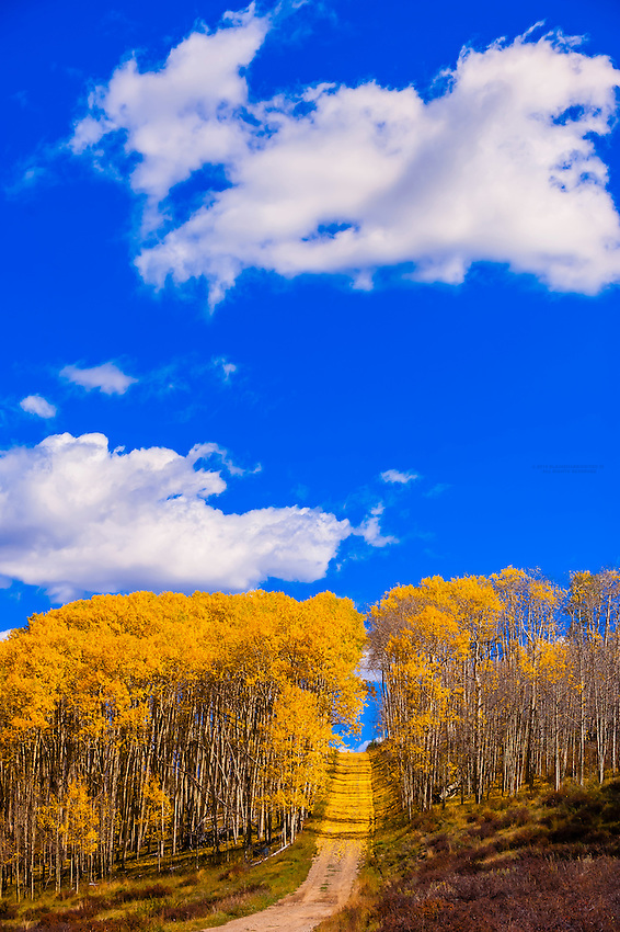 A grove of aspen trees in autumn on a road on Wilson Mesa in the San Juan Mountains, near Telluride, Colorado USA.