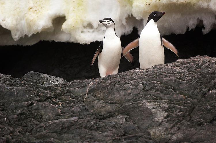 Adelie Penguin (Adélie Penguin, Pygoscelis adeliae) and Chinstrap penguin (Pygoscelis antarcticus) interacting, Gourdin Island, Antarctica