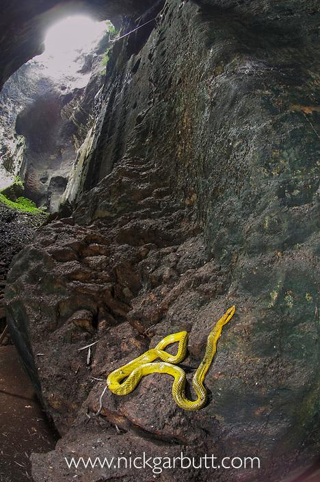 Grey-tailed Racer (Gonyosoma oxycephalum) resting on rocks in Gomantong Caves, Sabah, Borneo.