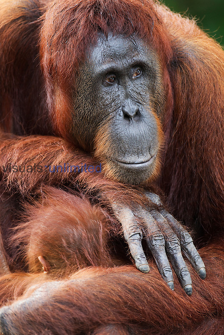 Bornean Orangutan female sitting with her baby son aged 8-9 months (Pongo pygmaeus wurmbii), Camp Leakey, Tanjung Puting National Park, Central Kalimantan, Borneo, Indonesia.