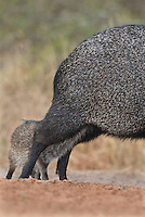 650520165 a wild baby javelina or collared peccary dicolytes tajacu nurses from its mother on beto gutierrez ranch hidalgo county texas united states