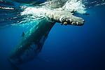 Humpback whale, Vava'u, Tonga