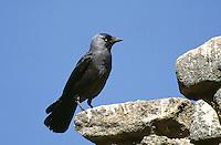 Dohle, Coloeus monedula, Corvus monedula, jackdaw