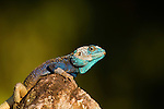 Blue-headed Tree Agama (Acanthocercus atricollis) male in breeding coloration, Kibale National Park, western Uganda