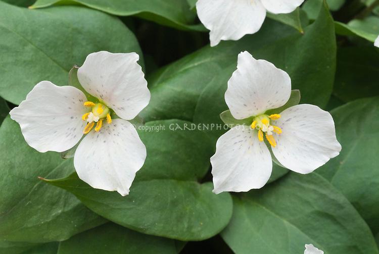 Trillium rivale in white spring bloom
