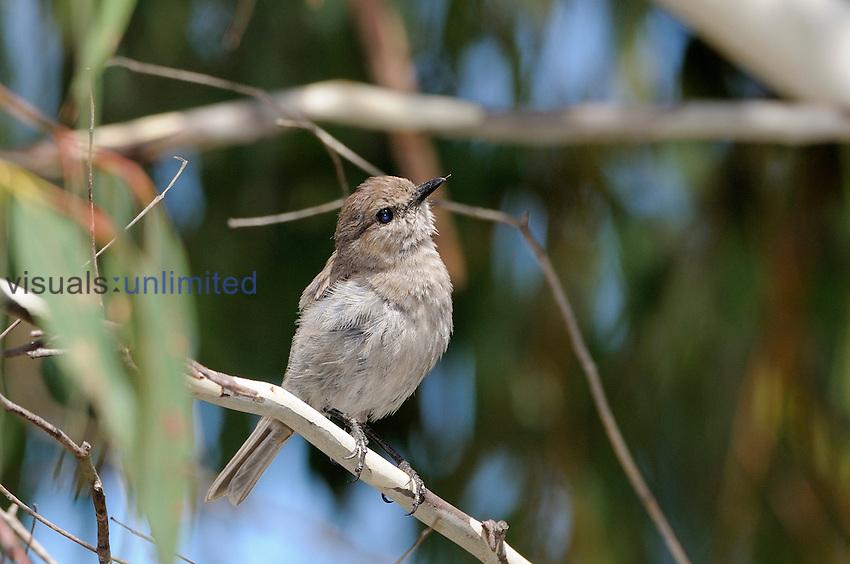 Dusky Robin (Melanodryas vittata), endemic to Tasmania, Australia