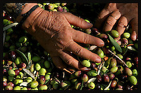 Aisha Ali picks an cleans the olives in the Palestinian village of Jama'in, in the West Bank October 19, 2006. Part of the olive trees of the Ali family are in the border with the Jewish Settlement of Tapuach, which makes it very dangerous for the family to pick the olives because of continuous attacks and threats by Jewish settlers to members of the family. In order to harvest the trees this year by an Israeli Court decision the family has been protected by Israeli security forces. To make sure the family can harvest the trees the family also is receiving the help of an Israeli NGO called Rabbis for Human Rights. RHR helps the Palestinian families not only with their presence but also with volunteers who help with the harvest in the border and friction areas with Jewish Settlers. Photo by Quique Kierszenbaum