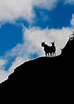 Mountain goats are crossing a ridgeline in Waimea Canyon, Koke'e State Park, Kalalau Lookout, Kaua'i, Hawaii