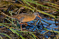 Virginia Rail & Sora