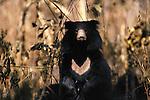 Sloth Bear, Royal Chitwan National Park, Nepal