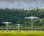 Three flying saucer UFOs hover over a field of cattle and beam up some cows