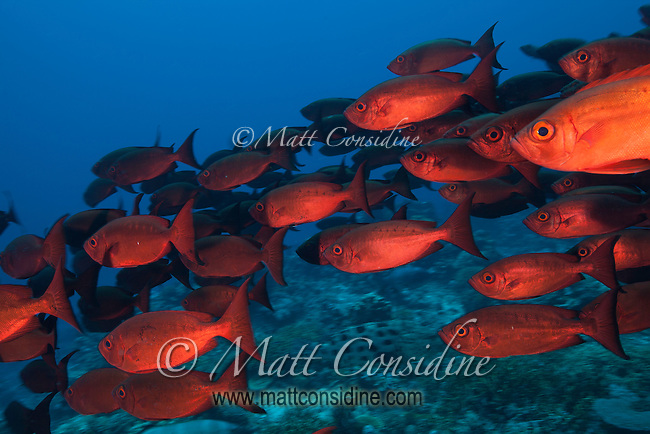 Glasseye Schooling. (Photo by Wildlife & Underwater Photographer Matt Considine)