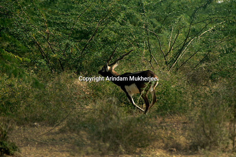 A wild male full grown black buck in the forest area near Jodhpur, Rajasthan, India. Arindam Mukherjee.