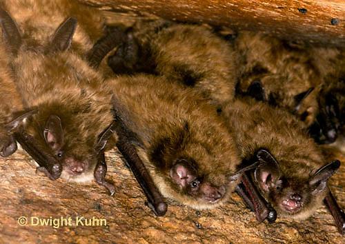 MA20-523z  Little Brown Bats, Myotis lucifugus