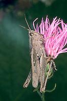 Wiesengrashüpfer, Wiesen-Grashüpfer, Feldheuschrecke, Chorthippus dorsatus, Steppe Grasshopper, Criquet verte-échine