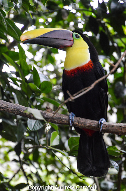 A Chestnut=Mandibled Toucan shows off his amazing colors in Costa Rica.