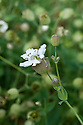 Sea campion (Silene uniflora), mid June.
