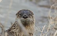 Otter - River
