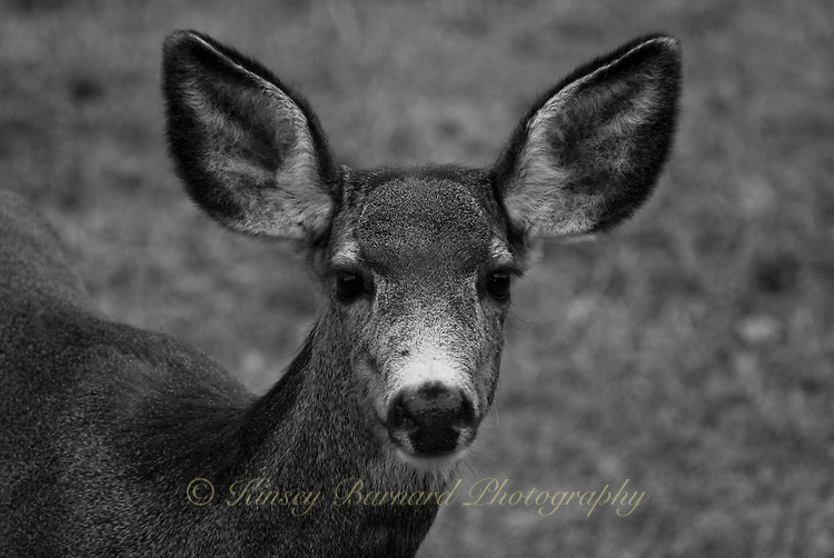 Black & white portrait of a mule deer doe in winter