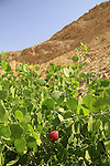 Israel, Eilat mountains, Capparis sinaica in Nahal Raham