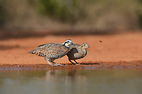 Northern Bobwhite (Colinus virginianus), pair drinking at pond, Rio Grande Valley, South Texas, Texas, USA