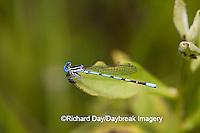 06067-001.01 Seepage Dancer (Argia bipunctulata) male, Reynolds Co.  MO