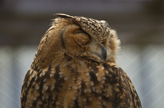 Shut eyes, owl