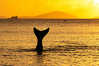 Mermaid diving into the sea at sunset<br /> St. John<br /> US Virgin Islands