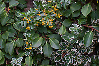 Pyracantha orange berries with variegated Euonymus fortunei Silver Queen shrub