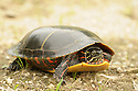 A Painted Turtle heads back to the pond.