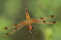 389160005 wild male painted skimmer dragonfly libellula semifasciata perched on twig angelina national forest jasper county texas