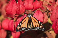 Monarch Butterfly (Danaus plexippus) on Burning Bush shrub (Euonymus alata). Early Fall. Nova Scotia, Canada.