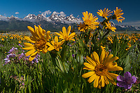 Arrowleaf Balsamroot, (Balsamorhiza sagittata), and Sticky Geranium,(Geranium viscosissimum),and Teton Mountain Range, Teton National Park, Wyoming.