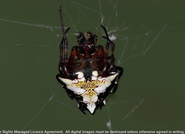 Arrowhead Spider Hacienda Baru, Costa Rica, Orb weaver spider (Verrucosa meridionalis: Araneidae) resembling a bird-dropping, in rainforest