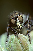 1D10-001z  Robber Fly - adult