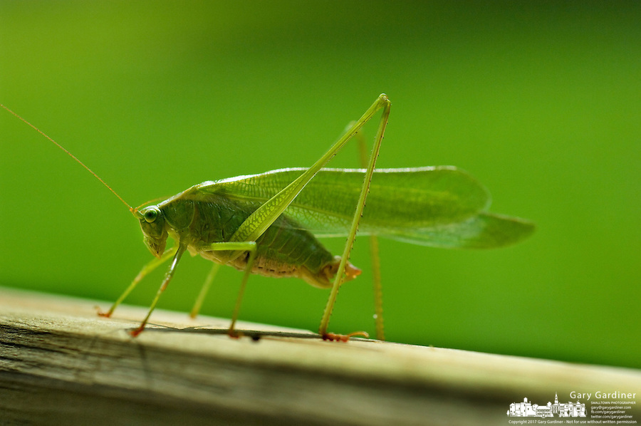 Katydid on wooden bench