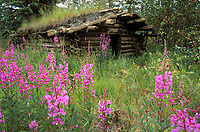 Fireweed wildflowers, and an old sod roof trappers log cabin in the Brooks mountain range, Alaska